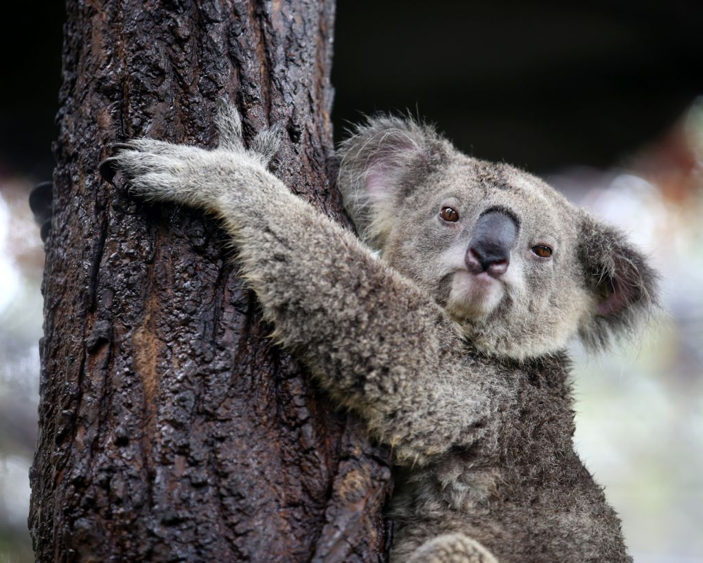 how to get to lone pine koala sanctuary by bus