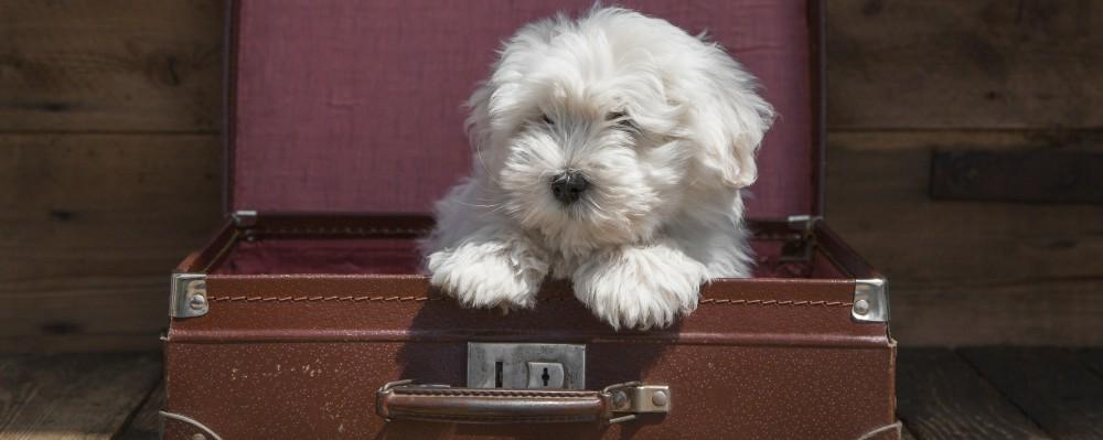 Traveling Dog © Frizzantine | Dreamstime