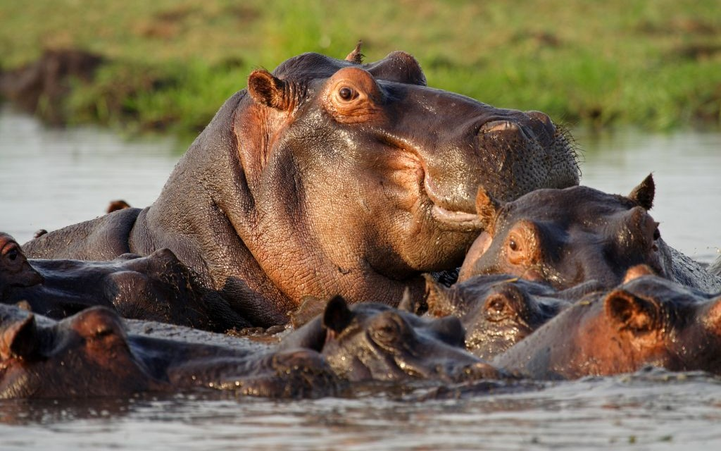 Hippos on the Chobe River, Caprivi Strip, Namibia © Mogens Trolle | Dreamstime