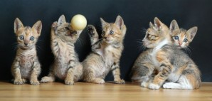 Cats Kittens Playing with a Ball © Qiming Yao | Dreamstime 20700844