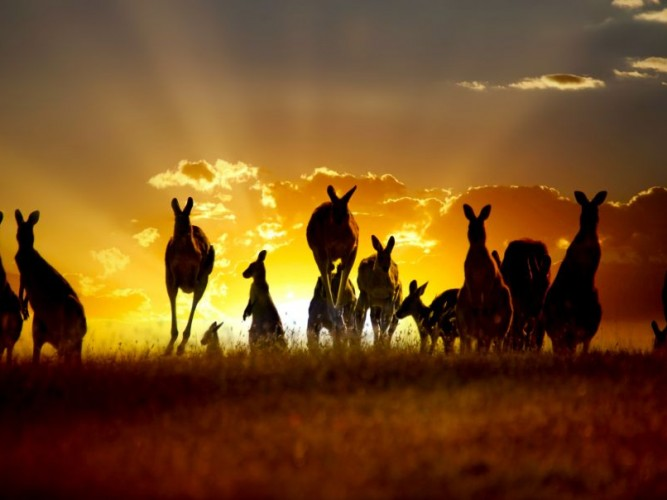 Kangaroos on an Australian Outback Sunset © Yahya Idiz | Dreamstime 22109860