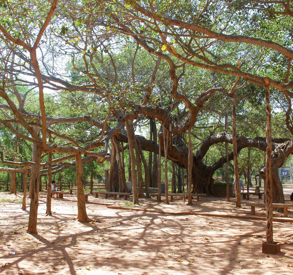 The Matrimandir Banyan Tree of Auroville in Tamil Nadu, India © Ylutzky | Dreamstime 46632260 crop