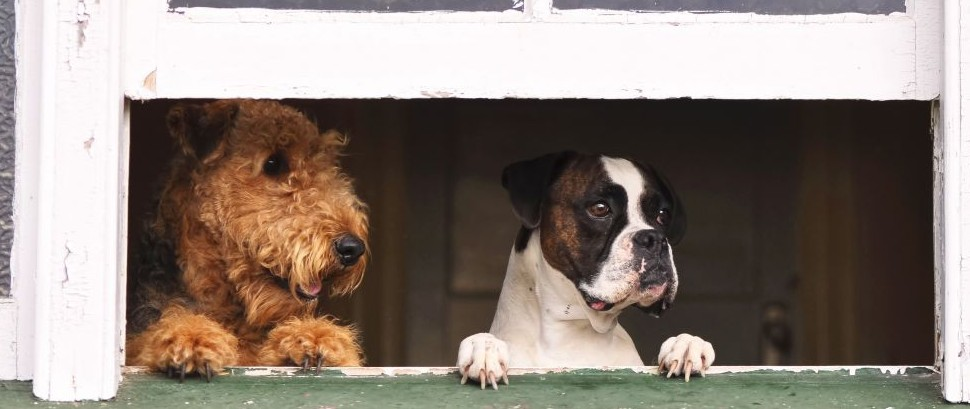 Airedale Terrier and Boxer dogs looking out the window © Lifeontheside | Dreamstime 27220964