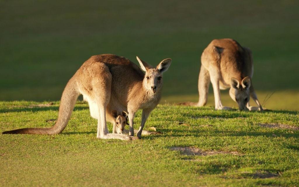 A kangaroo and her joey © Rozenn Leard | Dreamstime 56252353