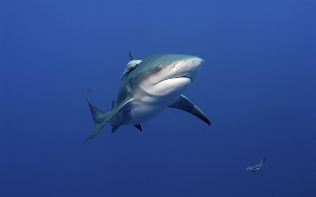 Bull Shark © Fiona Ayerst | Dreamstime 22911574