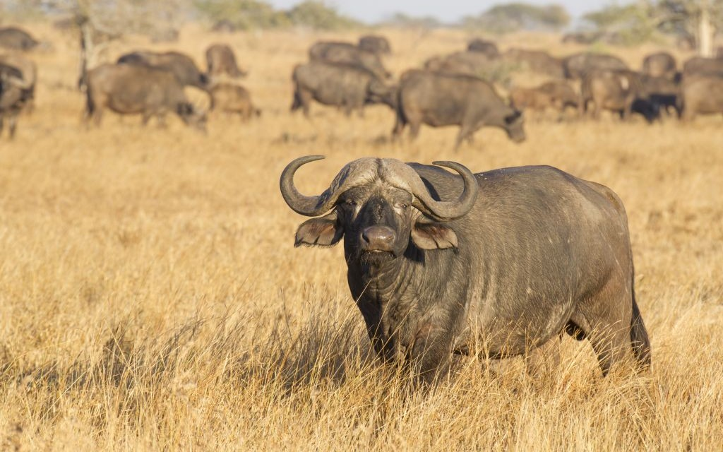 Cape Buffalo, Kruger Park, South Africa © Stu Porter | Dreamstime