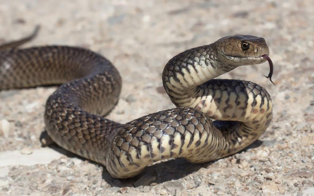 Eastern Brown Snake © Kristian Bell | Dreamstime 41148416