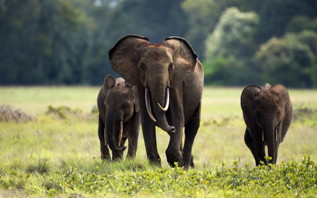 Forest Elephants of Loango National Park, Gabon © Zahorec | Dreamstime