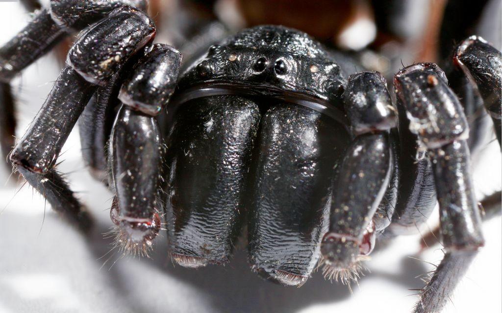 Funnel Web Spider © Paul Looyen | Dreamstime 31185715