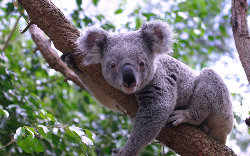 Koala © Renate Micallef | Dreamstime