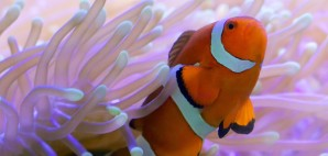 Clown fish of the Great Barrier Reef, Australia © Tanya Puntti | Dreamstime