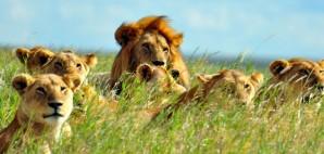 Lions of Serengeti National Park © Ramblingman | Dreamstime 15503915