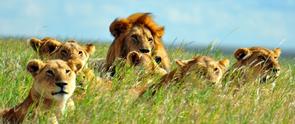 Lions of Serengeti National Park © Ramblingman | Dreamstime 15503915