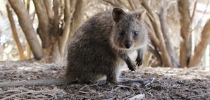 Quokka, Rottness Island, Australia © Veronica Wools | Dreamstime 30058998
