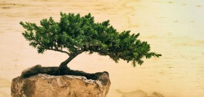 Bonsai Tree © Bernardo Ramonfaur | Dreamstime 56255813