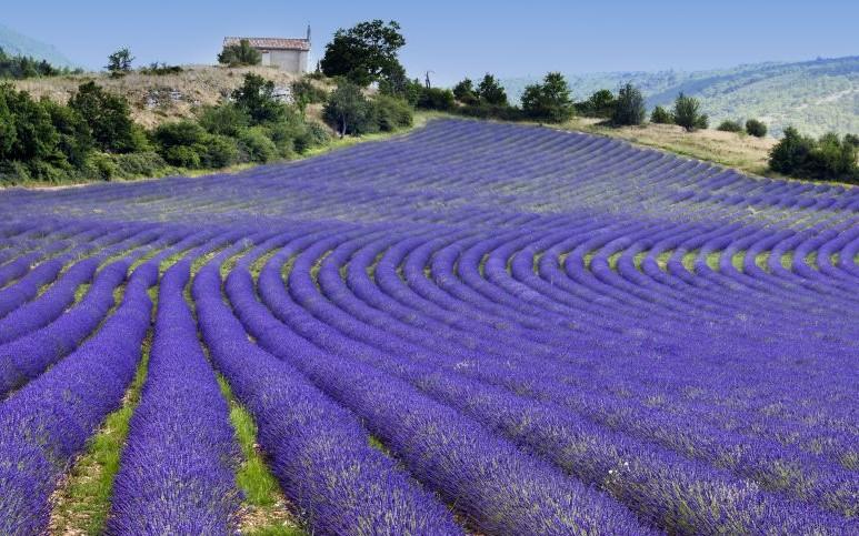 Lavender Fields of Provence, France © Tramontana   Dreamstime 29413947