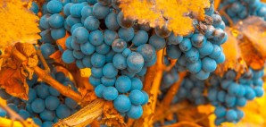 Malbec Grapes in Mendoza, Argentina © Javarman | Dreamstime 33230964