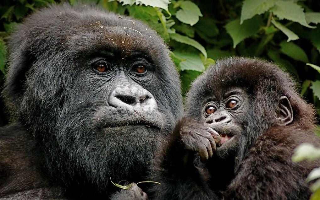Mountain Gorillas of Bwindi Impenetrable Forest, Kenya © Nickjacksonphotography   Dreamstime 41926655