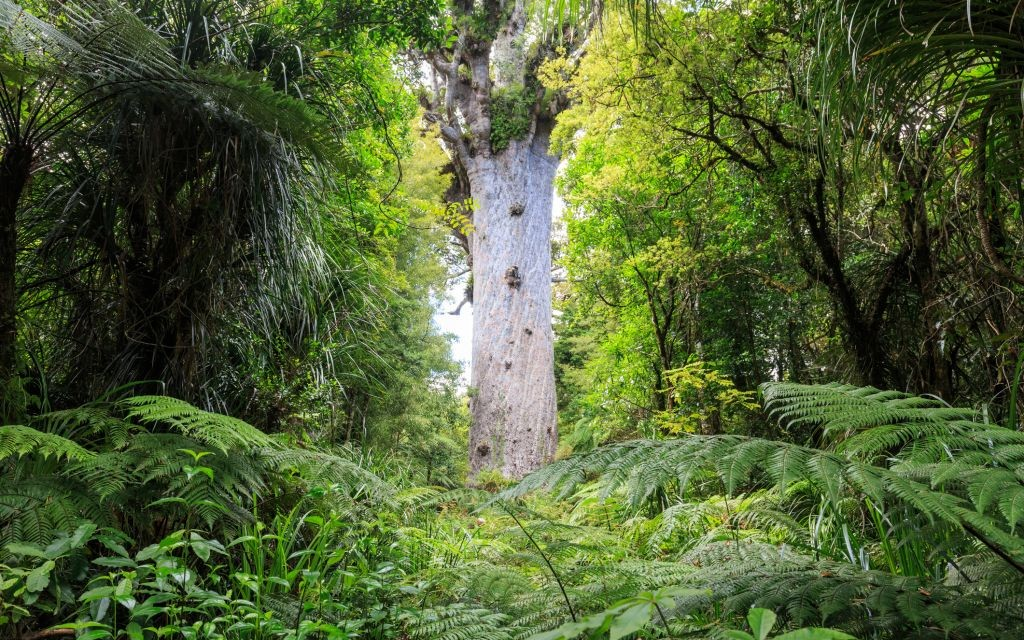 Tane Mahuta, Lord of the Forest, Waipoua, New Zealand © Kyrien   Dreamstime 52437962