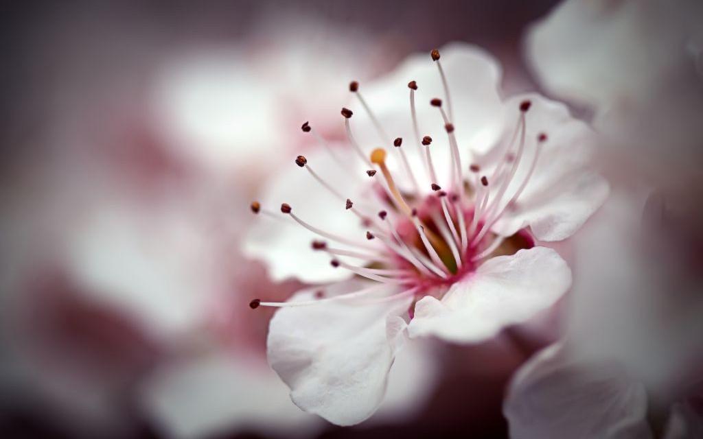 Close-Up Cherry Blossom Macro © Joshkho | Dreamstime 12617032