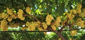 Grapes © Minyun Zhou | Dreamstime 26109450