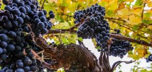 Wine Grapes © Akulamatiau | Dreamstime 27153745