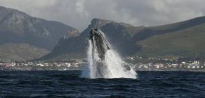 Whale Breaching in Hermanus, South Africa © Ken Moore | Dreamstime 1585867
