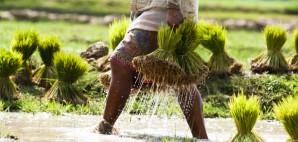 Rice Plantation in Laos © Gnomeandi | Dreamstime 26635001