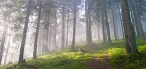 Forest © Sofiya Hunchyk | Dreamstime 79301317