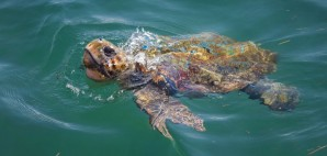 Loggerhead Turtle of Cephalonia, Greece © Xiaoma | Dreamstime 74009281