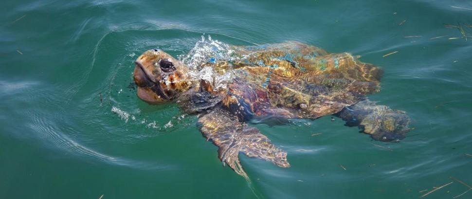 Loggerhead Turtle of Cephalonia, Greece © Xiaoma | Dreamstime 74009281