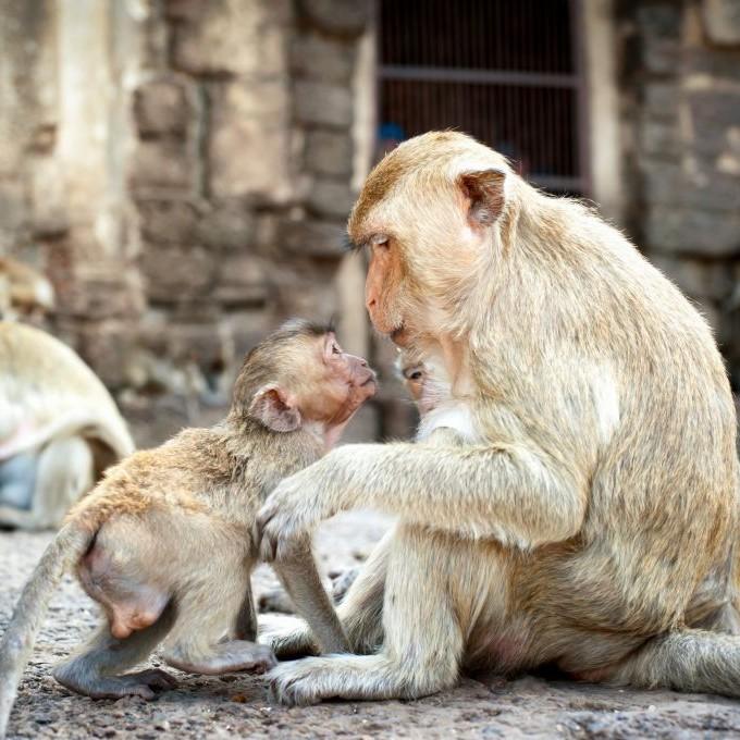 Trazee Travel  Visiting Thailands Monkey Buffet Festival - Trazee Travel