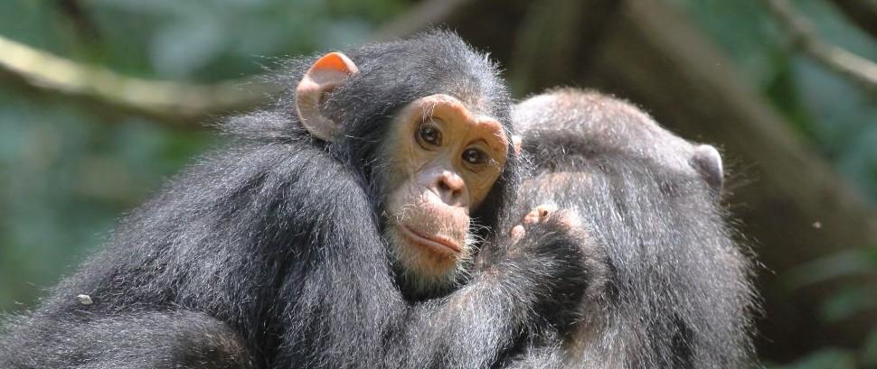 Chimpanzees in the Mahale Mountains, Tanzania © Mattiaath | Dreamstime 34169850