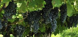 Wine Grapes © Richard Banary | Dreamstime 26217337
