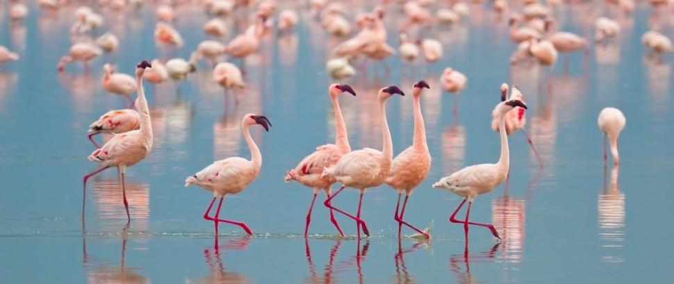 Flamingos if Lake Nakuru, Kenya © Ajn | Dreamstime 9299385