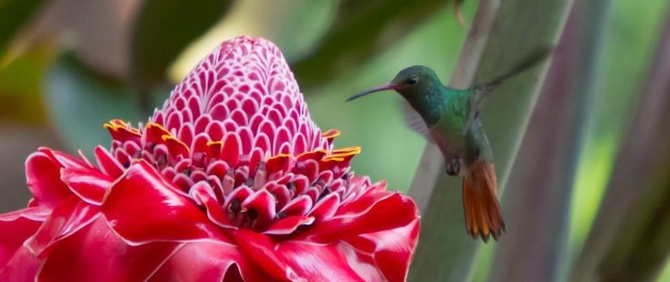 Hummingbird in Boquete, Panama © Foxyjoshi | Dreamstime 32068588