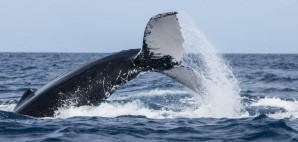 Humpback Whale of Silver Bank, Dominican Republic © Ethan Daniels | Dreamstime 68944992
