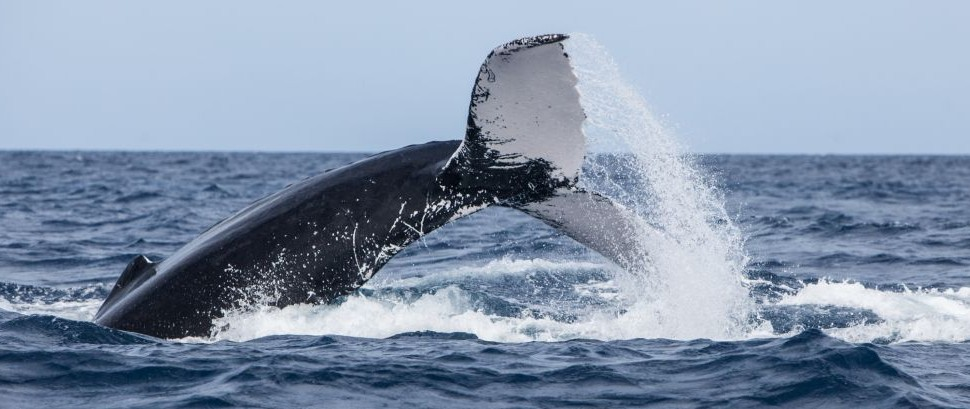Humpback Whale of Silver Bank, Dominican Republic © Ethan Daniels   Dreamstime 68944992