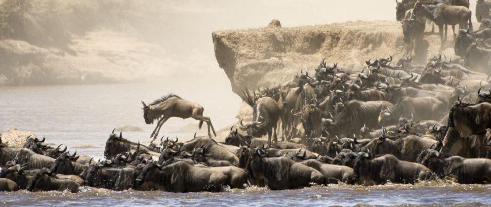 Wildebeast on the Great Migration, Masai Mara, Kenya © Kevin Moore | Dreamstime 16149502