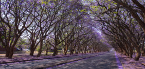 Blooming Jacaranda Trees Lining Milton Avenue in Harare, Zimbabwe © Jezbennett | Dreamstime 40281792