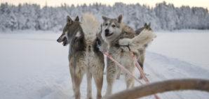 Finland Dog Sled © Alla Shcherbak | Dreamstime 12605099