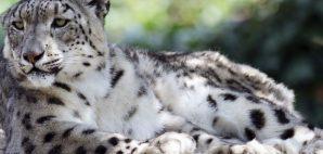 Snow Leopard © Henri Faure | Dreamstime 20260217