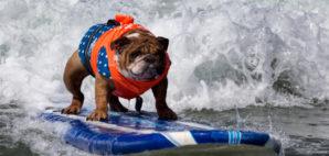Dog Surfing © Steve Gould | Dreamstime 33519234