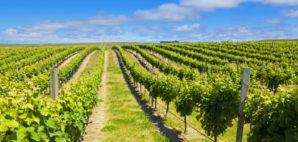 New Zealand Vineyard © Alexey Stiop   Dreamstime 21918235