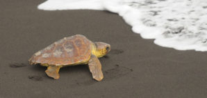 Loggerhead turtle © Luciano De La Rosa | Dreamstime 23057566