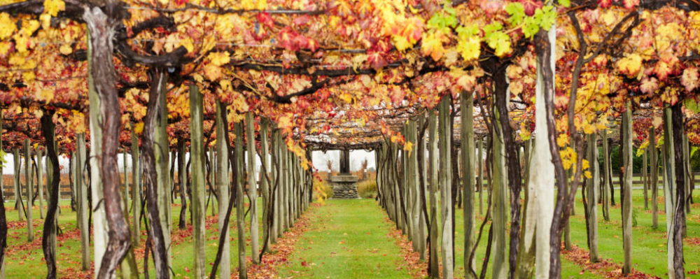 New Zealand Vineyard During Autumn © Arctic | Dreamstime 19716928