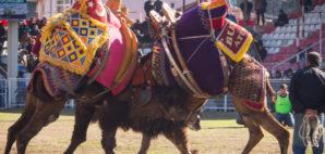 Camel Wrestling © K0tk0t | Dreamstime 87692083