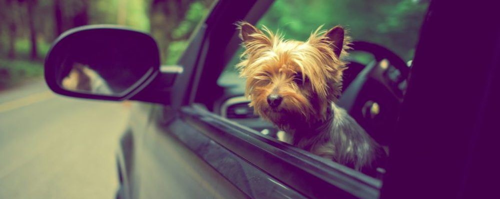 Dog Car © Welcomia | Dreamstime 49641969
