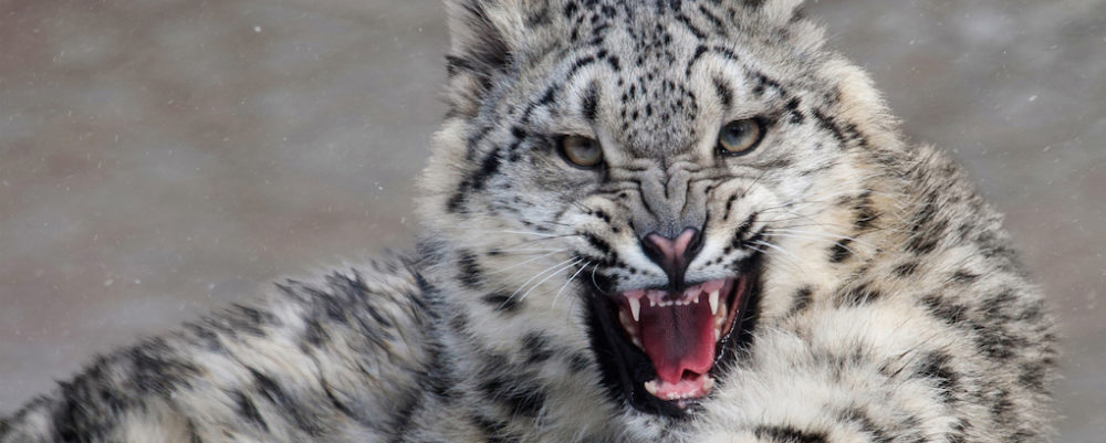 Trazee Travel See Snow Leopards In Ladahk Trazee Travel