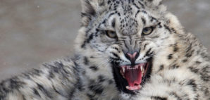 Snow Leopard © Rgbe | Dreamstime.com